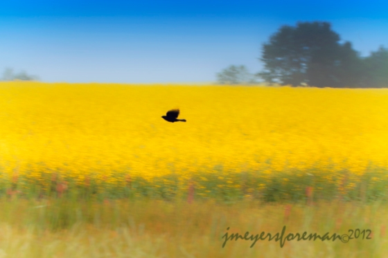 redwing blackbird flying over the canola field near calgary alberta